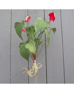 Artificial 40cm Dark Red Anthurium Bush