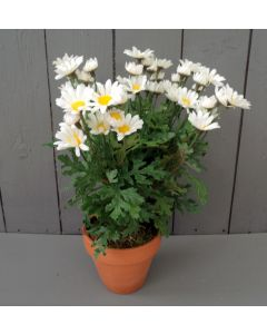 Artificial Potted Daisies